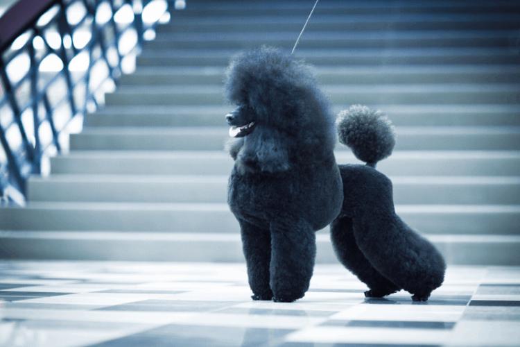 Choosing a dog - Poodle
