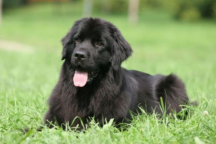 low maintenance dog breeds - newfoundland