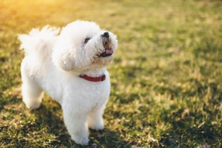 good lap dogs - bichon frise