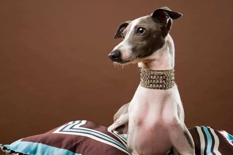 good lap dogs - italian greyhound