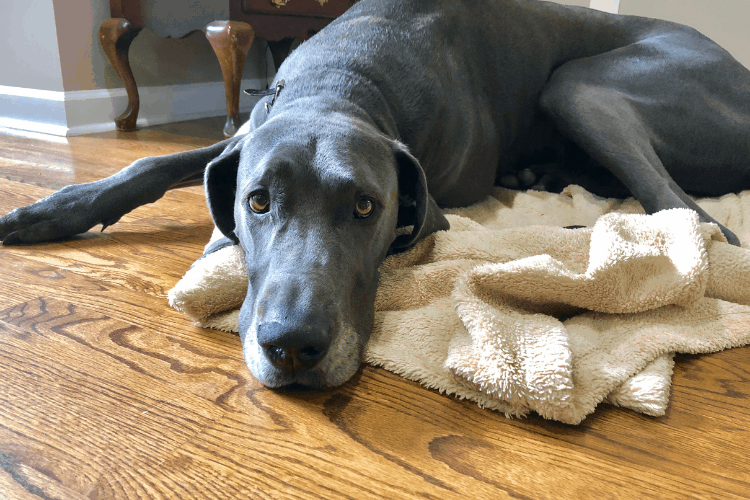 great dane laying on blanket