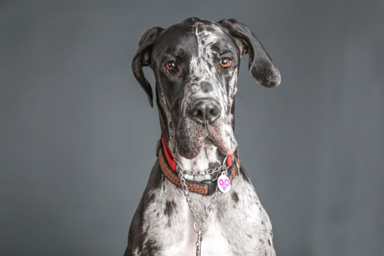 how to lengthen your great dane's lifespan - black, white gray great dane