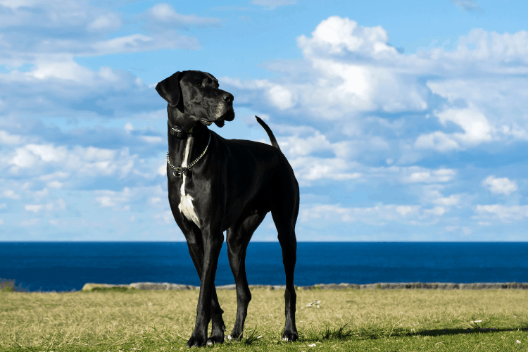 how to lengthen great dane's lifespan