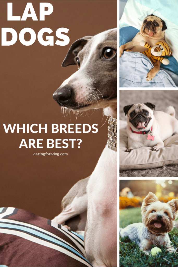 Good Lap Dogs - which breeds are the best?