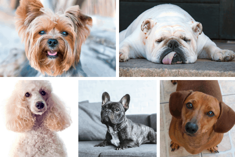 dog breeds for apartments
