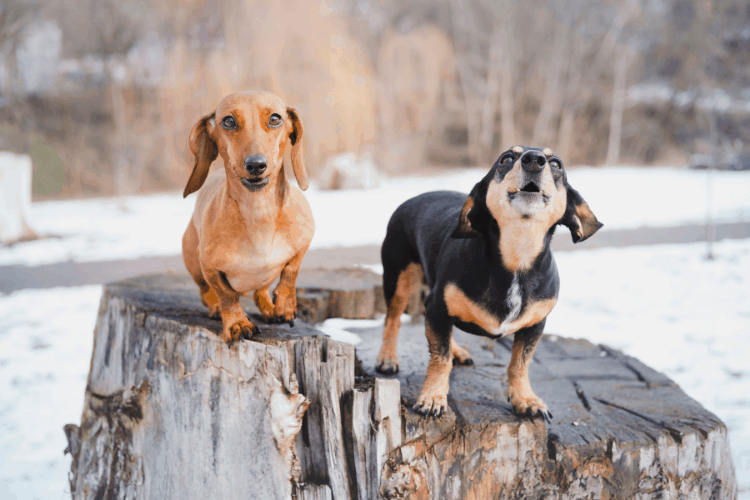 Do Dachshunds Bark A Lot?