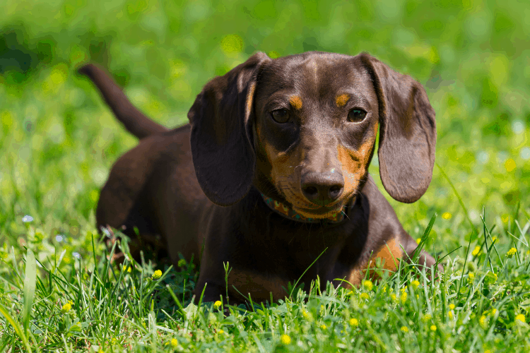 Dachshund - Are Dachshunds Easy to Train
