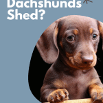 Do Dachshunds Shed?