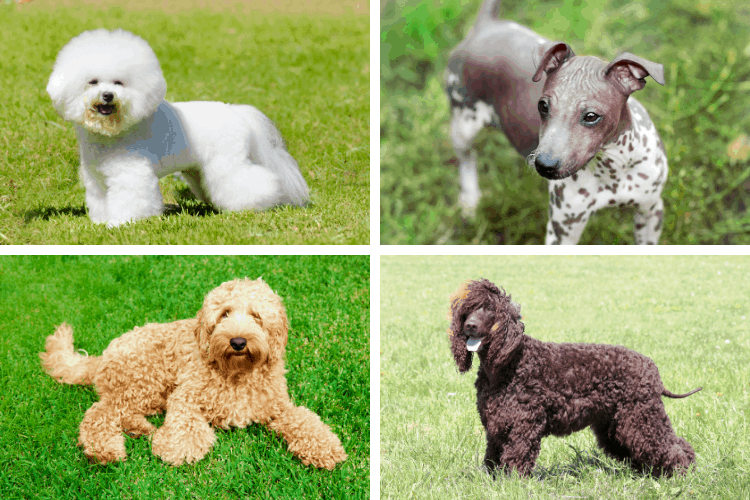 best dog breeds for allergies and asthma