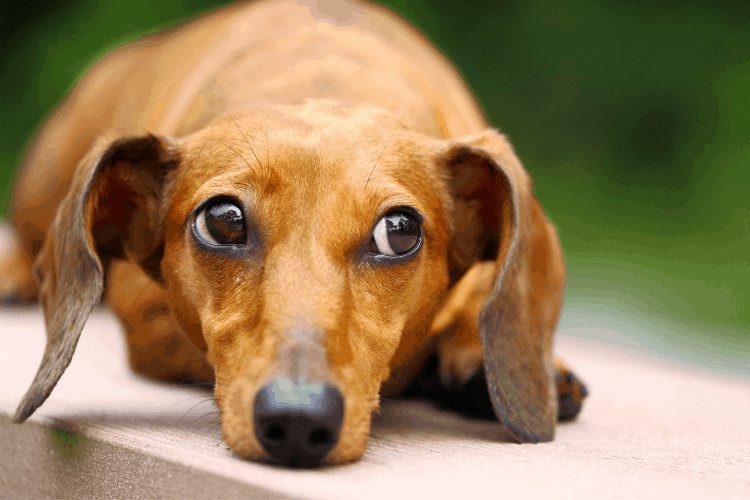 why are dachshunds so needy?