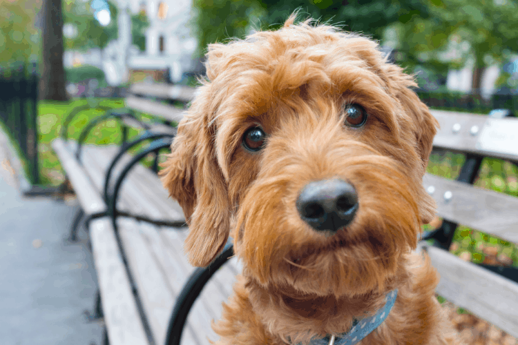 Are Goldendoodles High Maintenance Dogs?