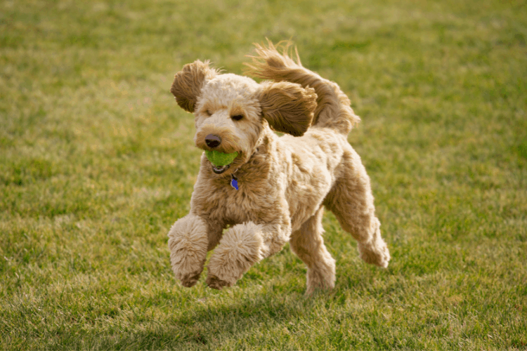 Are Goldendoodles Hyper Dogs?