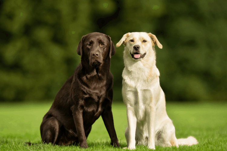 different types of labrador retrievers