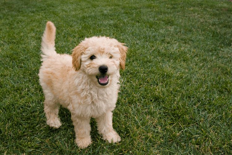 how much do goldendoodles cost