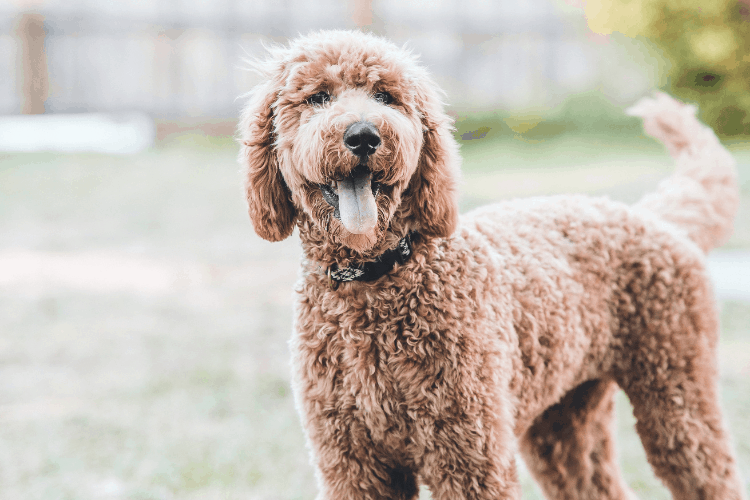 How Much Do Goldendoodles Cost?