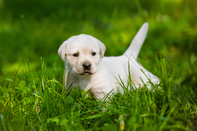 What Is The Best Age To Spay or Neuter A Labrador?