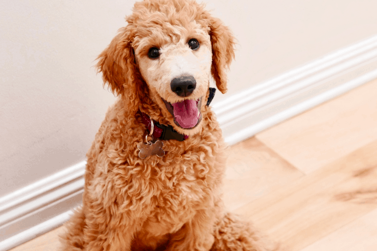 What's Wrong With Goldendoodles?