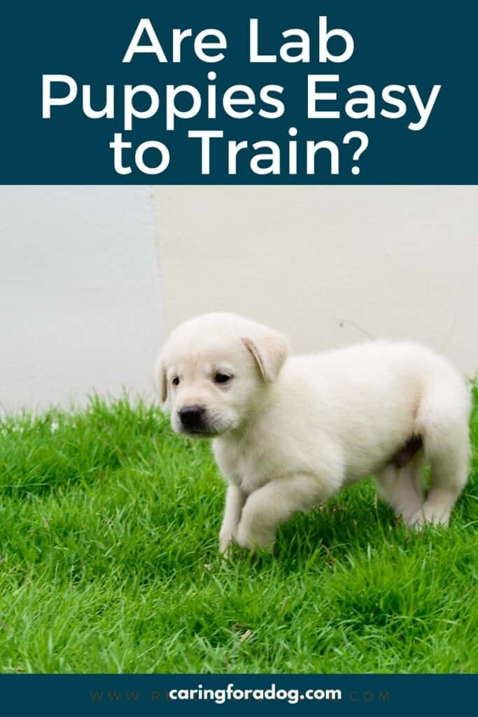 are lab puppies easy to train