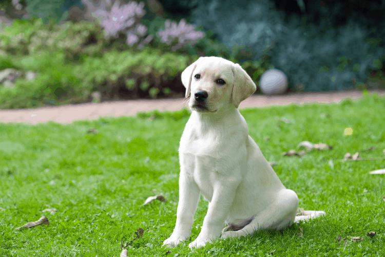 lab as family pet