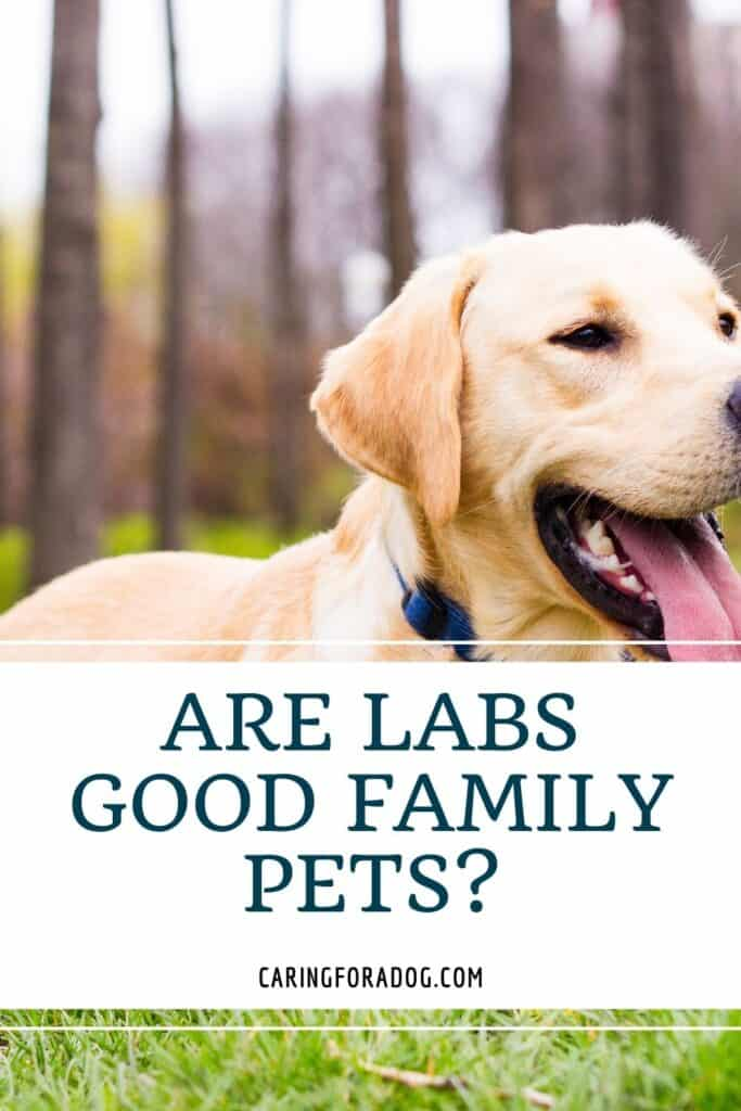 are labs good family pets?