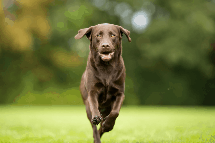 are labs hyper dogs