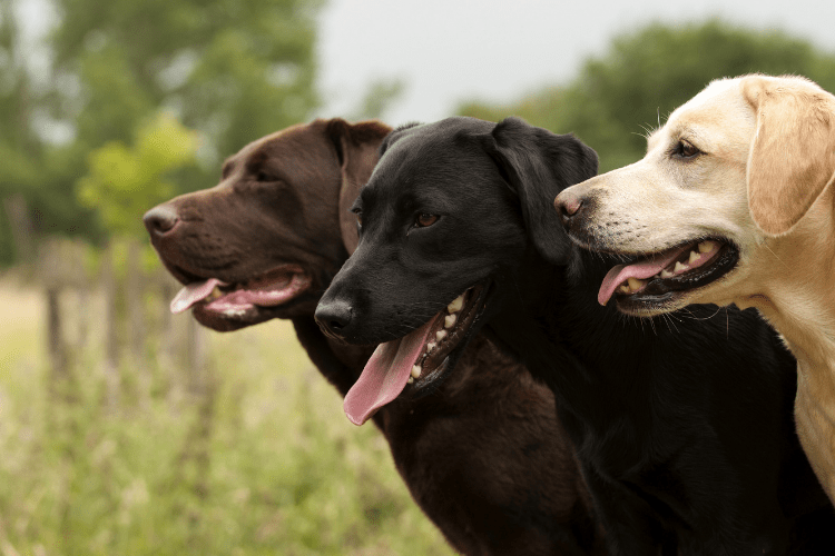 are labs hypoallergenic