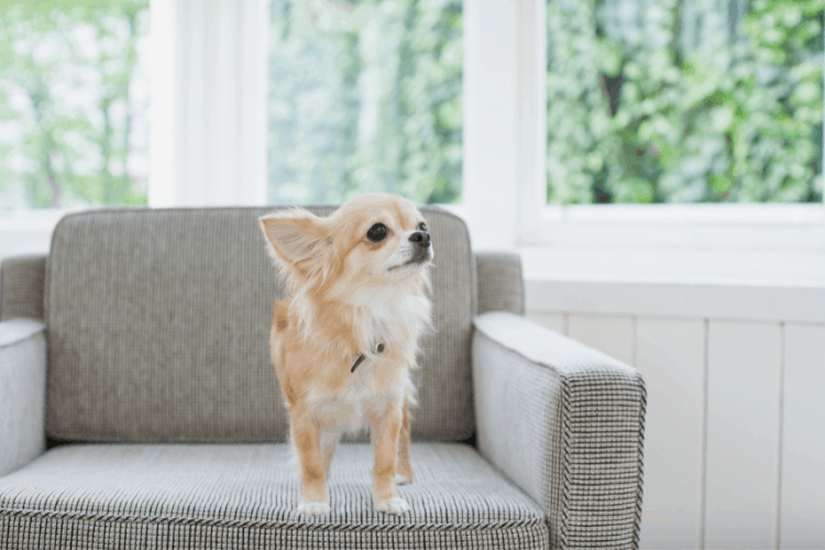 Are Chihuahuas High Maintenance Dogs?