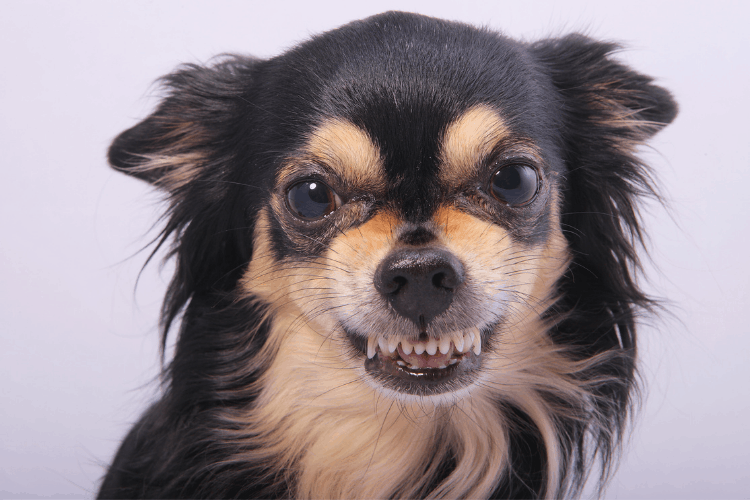 Are Chihuahuas Really That Bad?