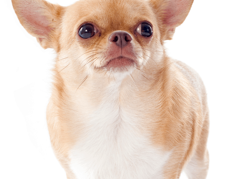 are chihuahuas easy to train - overweight dog