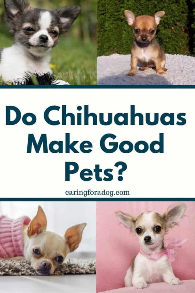 Do Chihuahuas Make Good Pets
